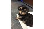 Picture of Morkie Poo Puppy for Sale