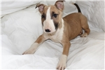 Picture of bull terrier puppy