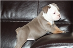 Picture of Beautiful Rare colored Bulldog Puppies Available