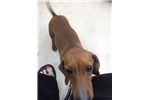 Picture of Sweet one year old female, red, sable