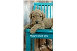 Picture of Maizey Blue Boy- Multi-Gen Australian Labradoodle