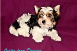 Picture of Parti Yorkie Puppy