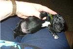 Picture of Springador / Labradinger puppies Green