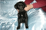Picture of Springador / Labradinger puppies Red