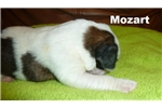 Picture of AKC St.Bernard puppies for sale !!!