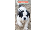 Picture of AKC  Brigitte smooth coat girl