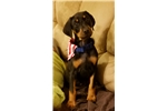 Picture of Doberman Puppy looking for a forever home