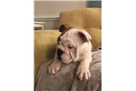 Picture of Male English Bulldog 10 weeks old
