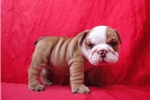 Picture of Male English Bulldog 8 weeks old