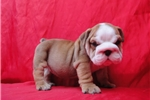 Picture of Female English Bulldog 8 weeks old