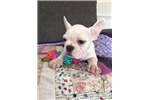 Picture of Male French Bulldog 8 weeks old