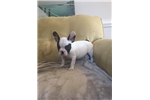 Picture of Female French Bulldog 8 weeks old