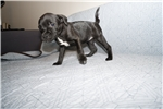 Picture of AKC English Staffordshire Bull Terrier