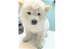 Picture of GUARD DOG creme AKC Chow Chow