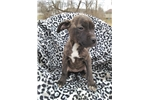 Picture of Female Brindle Amstaff Pup For Sale