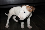Picture of Miniature Bull Terrier - zoe