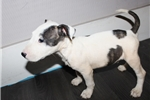 Picture of Miniature Bull Terrier - Rex