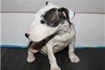 Miniature Bull Terriers for sale