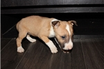 Picture of Miniature Bull Terrier - Lola