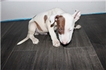 Picture of Miniature Bull Terrier - Bruno
