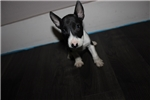 Picture of Miniature Bull Terrier - Kaya