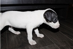 Picture of Tank - Miniature Bull Terrier