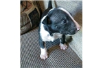 Picture of Miniature Bull Terrier - Maxiums