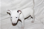 Picture of Miniature Bull Terrier - Daisy