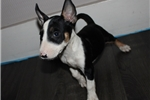 Picture of Miniature Bull Terrier - Shadow