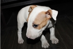 Picture of Miniature Bull Terrier - Layla