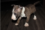 Picture of Miniature Bull Terrier - Lexi