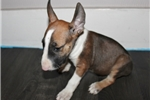 Picture of Miniature Bull Terrier - tank
