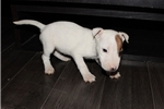 Picture of Miniature Bull Terrier - Lizzie