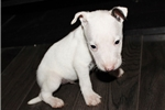 Picture of Miniature Bull Terrier - Link