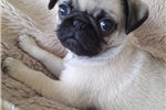 Picture of pug - Spunk