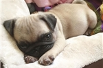 Picture of pug - Jasmine