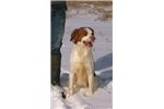 Picture of Trained Upland Game Bird Dog