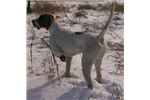Picture of English Pointer, Trained Upland Game Bird Dog