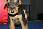 Picture of FEMALE PUPPY