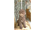 Lagotto Romagnolos for sale