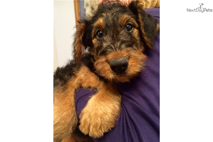 Female 1: Airedale Terrier puppy for sale near Green Bay, Wisconsin  fb58d0134cc1