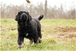 Tibetan Mastiff for sale with health guarantee | Puppy at 30 weeks of age for sale