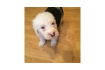 Picture of Beautiful male sheepdog puppy#1 Leopold