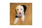 Picture of Beautiful female OES puppy Caroline