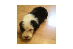 Picture of Beautiful male sheepdog puppy#2 victor