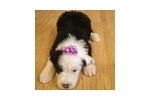 Picture of Beautiful female OES puppy Sophia
