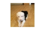 Picture of Beautiful male sheepdog puppy#5george