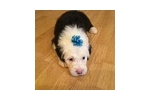 Picture of Beautiful female OES puppy Charlotte