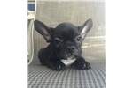 Picture of French Bulldog White Black Female Ready to go Home