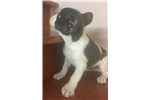 Picture of French Bulldog Pied Blue